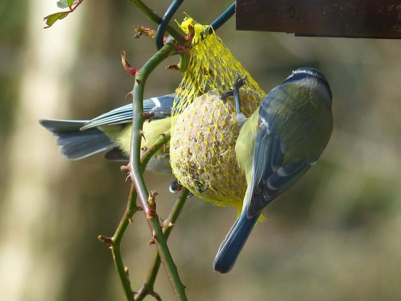 Ptice - saveznici i pomoćnici u bašti