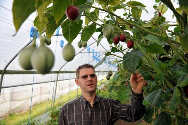 Egzotična guava multinamjensko voće budućnosti