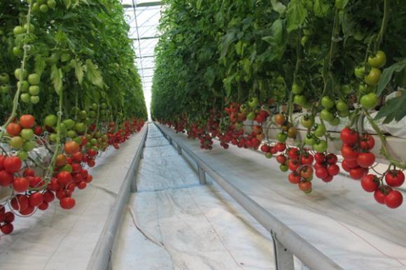 Uzgoj povrća u zaštićenom prostoru