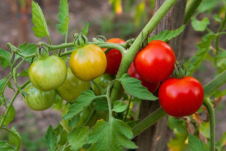 Plodovito povrće na udaru bolesti