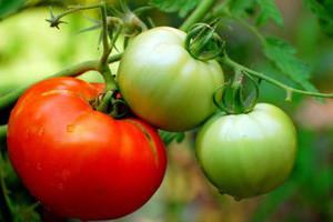 Fiziološki poremećaji u rastu i razvoju ploda rajčice