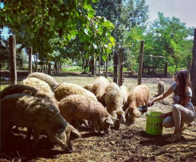 Eko uzgoj mangulice - svinje bez kolesterola