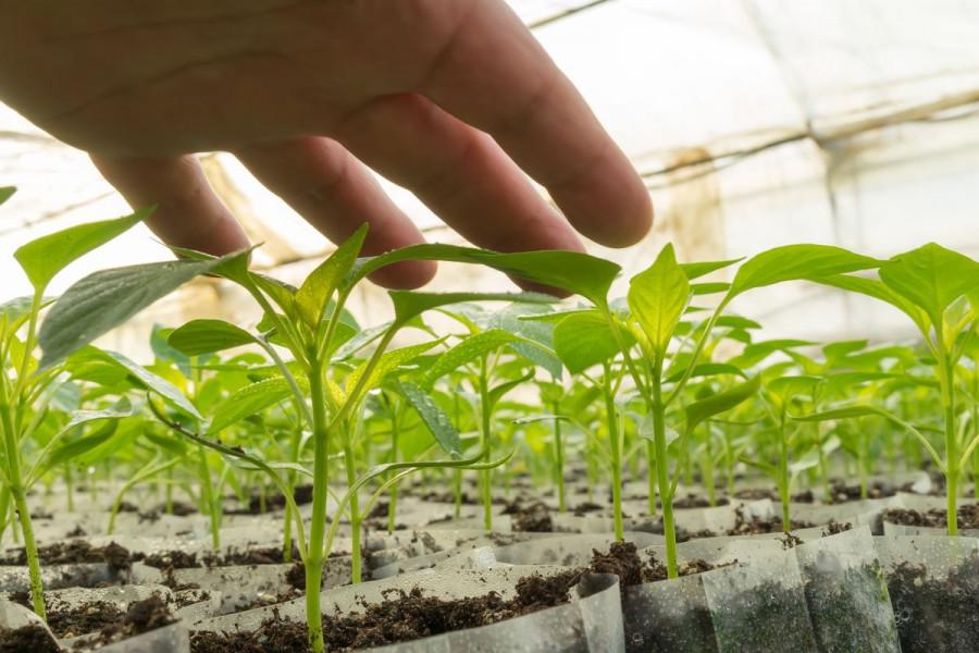 Preventivne mjere za zdravlje rasada povrća