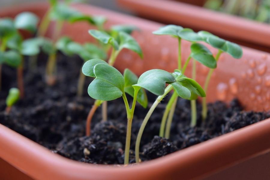 Paraziti roda Pythium štete povrću, kako ih suzbiti?