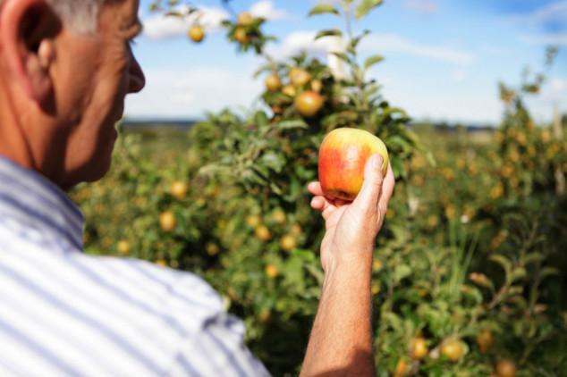 Regulatorom rasta osnažite svoje jabuke