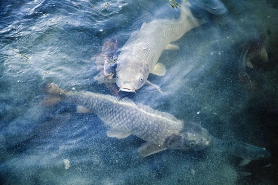 Više bh ribe u EU, povećana izvozna kvota