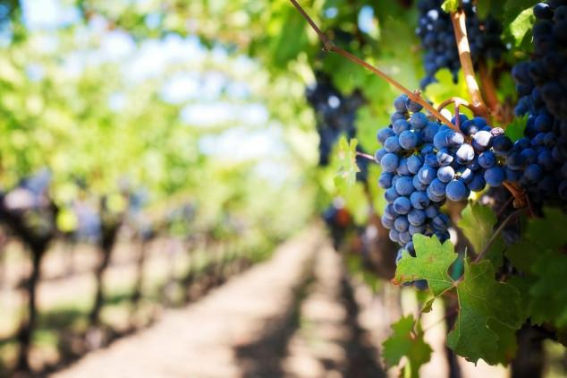 Najbolja ruska vina s prostora gdje se sadilo i u antici