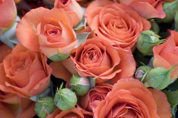 Zaštita bilja: Ruže