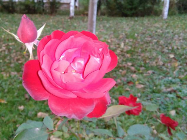 Kako saditi ruže u jesen