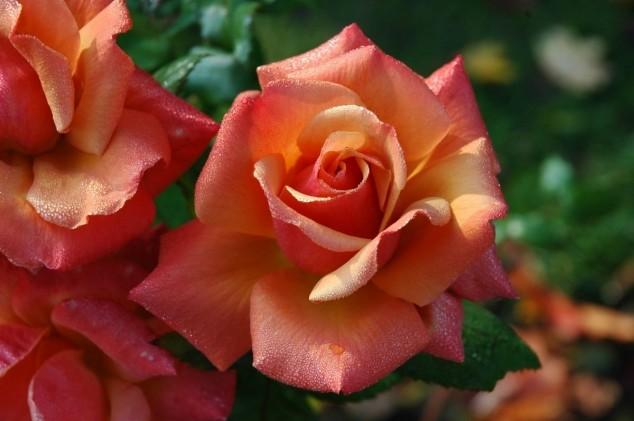 Kako na prirodan način zaštititi ruže?