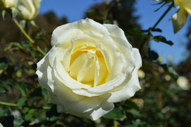 Kako pripremiti ruže za zimu?