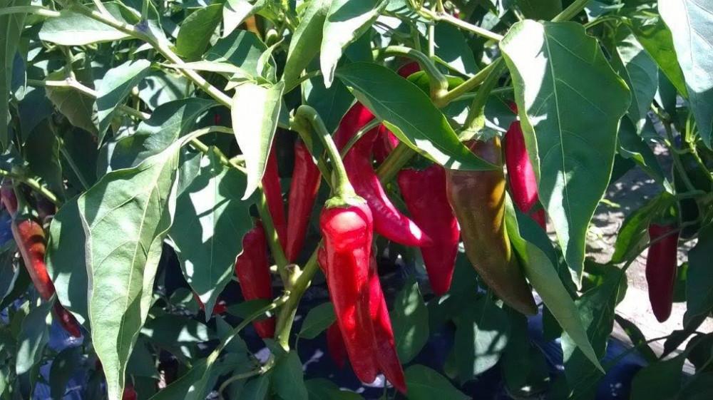 Posjetite Šaframova polja na Danu paprike!