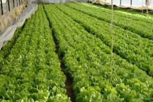 Ishrana i zaštita salate s THIOFER-om