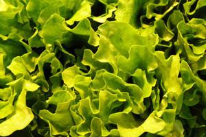 Zimska salata u plastenicima