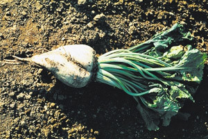 Šećerna repa bez korova