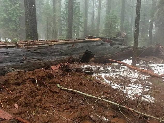 Oluja oborila divovsko stablo sekvoje u Kaliforniji