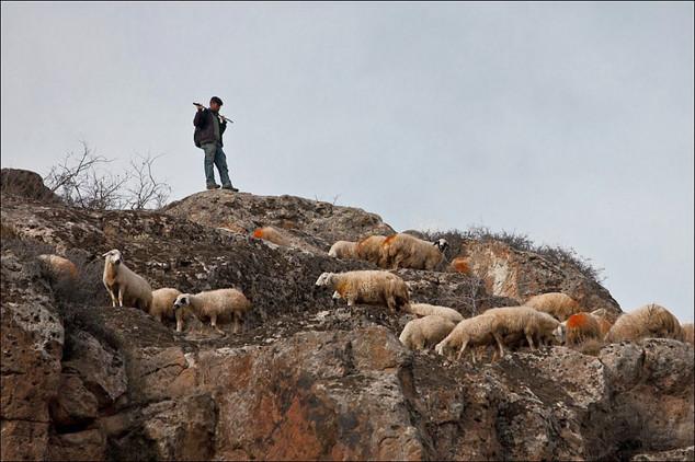 80 ovaca počinilo masovno samoubojstvo!