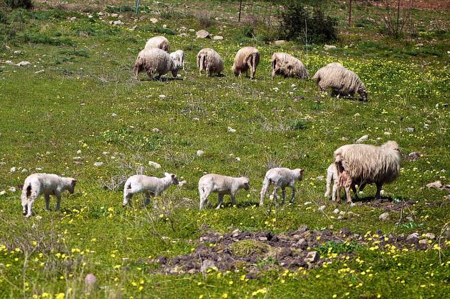 Pokolj ovaca u selu Rosice na Jastrepcu