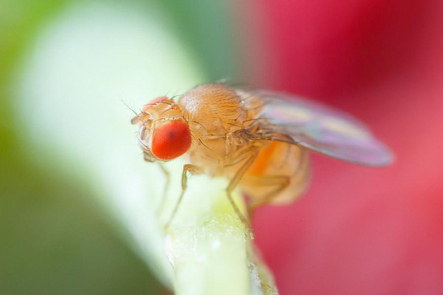 Oprez, pojavila se sirćetna mušica!