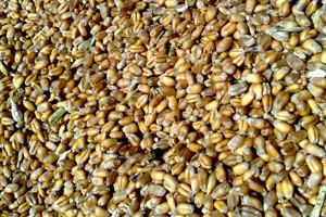 Zašto preferiramo određene sorte sjemena?