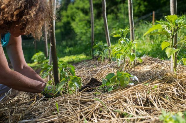 Slama, sijeno i lišće štite biljke od hladnoće