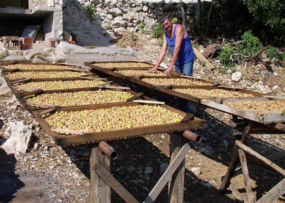 67 tisuća kuna dobiti od hektara smokvika!
