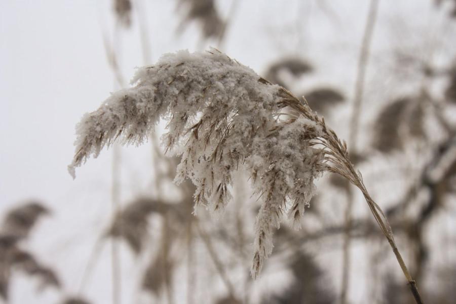 Mraz nanio štete usjevima, snijeg ih spašava