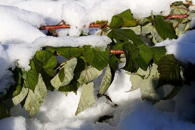 """Aprilski sneg i mraz """"obrali"""" voće!"""