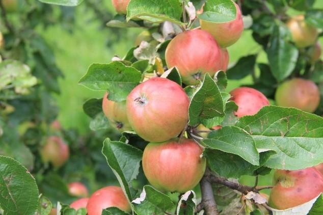 Kako prirodnim putem suzbiti štetočine voća?
