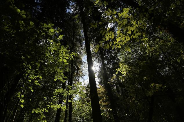 Nastavlja se sječa višestoljetnih stabala u Bjelovejskoj šumi