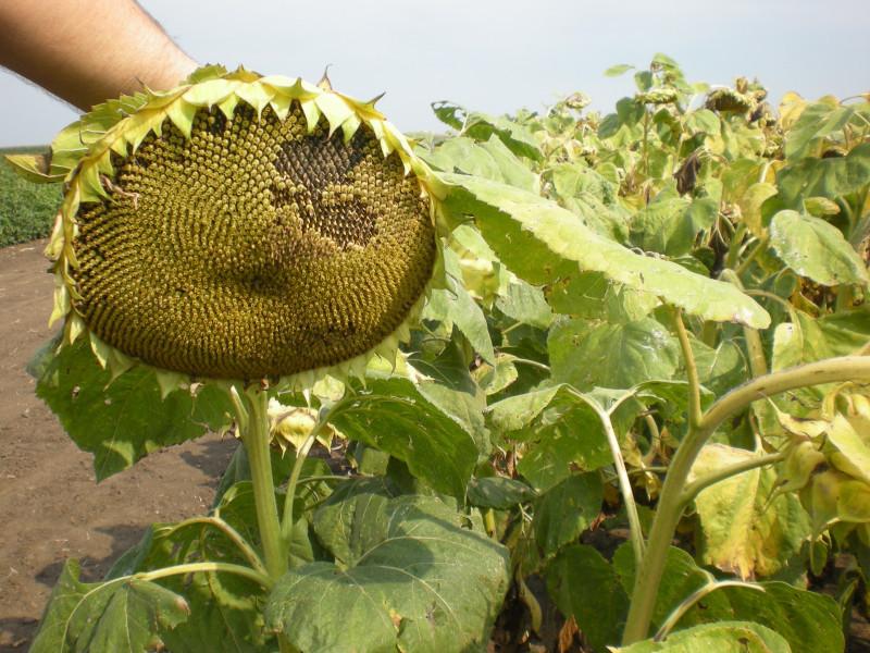 Dan polja suncokreta u Čepinu