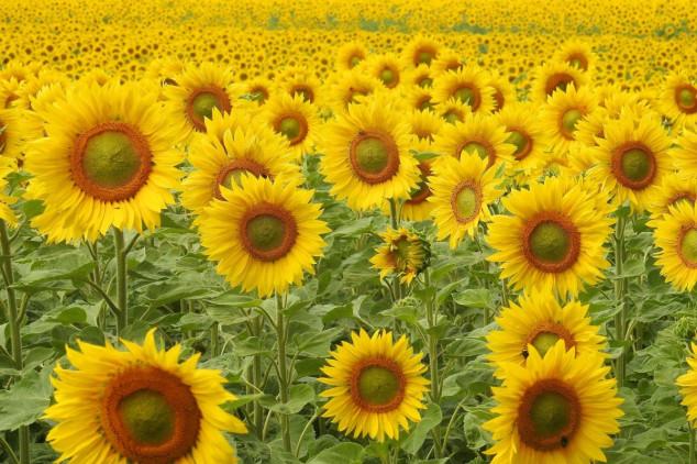 Suncokret i na lošijim tlima daje dobre prinose