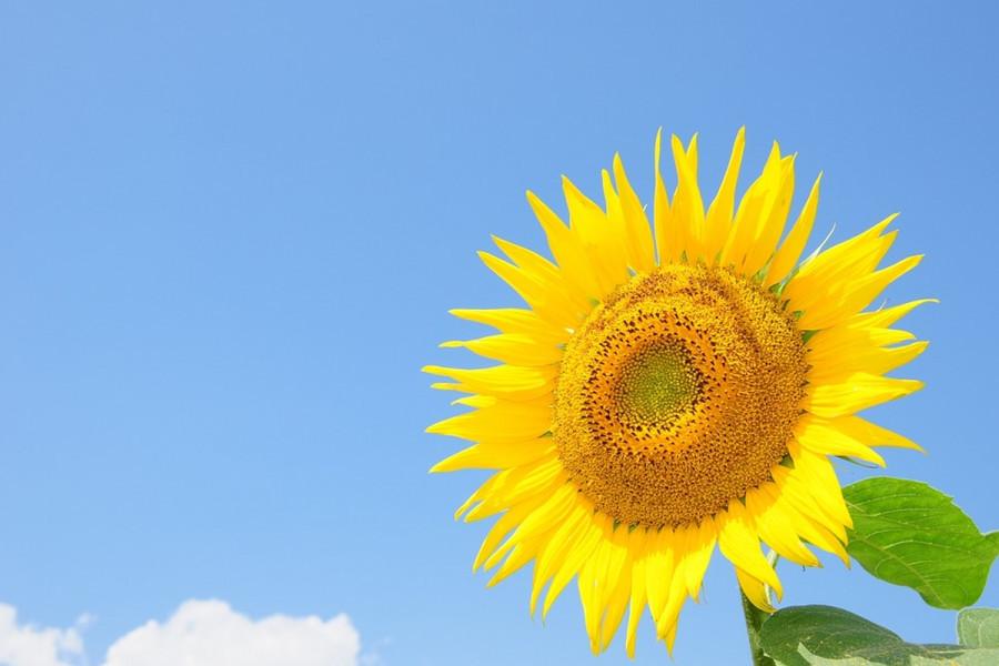 Ukrajinski suncokret širi izvoz na 30 zemalja