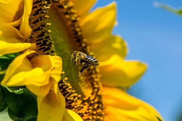 Super-pčele će biti otporne na varou i bolesti?