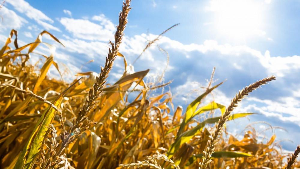 Visoke temperature i suša ozbiljno će ugroziti prinose