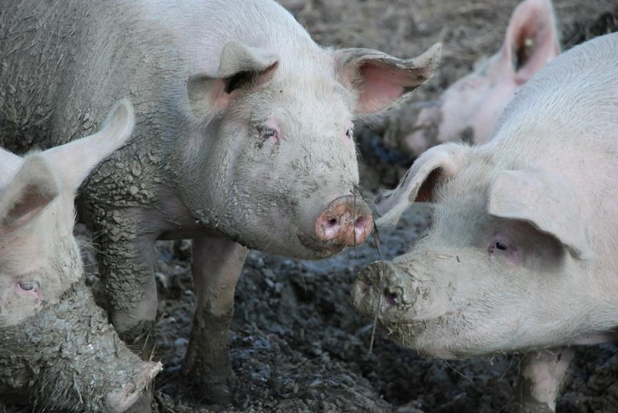 Potražnja raste, rast će i cijena svinja?