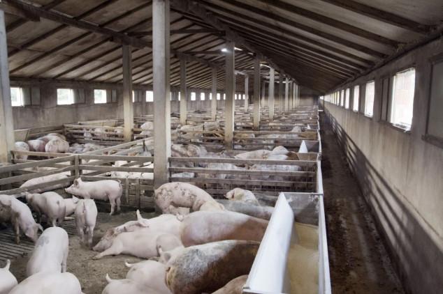 Svinjogojci osnovali proizvođačku organizaciju