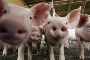 U Srbiji nema zaraženih svinja iz Danske