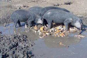 Crna svinja opet na cijeni