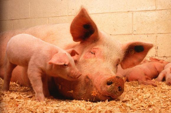 Divlje svinje jedu kukuruz u Jasku