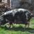 Imamo novu zaštićenu izvornu pasminu svinja u Hrvatskoj - banijsku šaru!