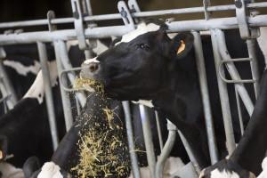 RWA ima silažni hibrid kukuruza LG 31.558 visoke hranidbene vrijednosti
