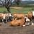 Uz više svetlosti i vazduha u stajama do bolje mlečnosti krava