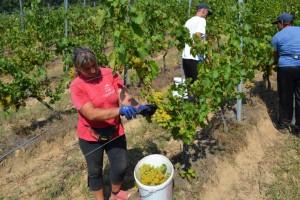Počela berba ranih sorti grožđa, kvaliteta iznad očekivanja