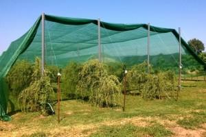 Porodica Jovanović jedina u Evropi proizvodi crne godži bobice