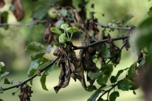 Zbog visokih temperatura preti opasnost od bakteriozne plamenjače jabučastog voća
