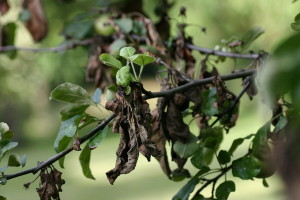 Bakterijska palež jabučastog voća - prijeti opasnost zbog visokih temperatura