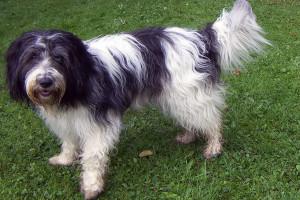 Holandski kovrdžavi ovčar: Odvažan i nježan pas