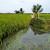 Poplave uništile polja riže u Italiji i azijskim zemljama