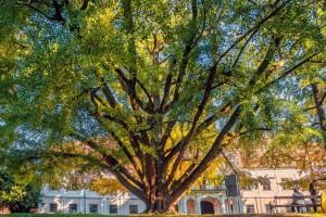 Ginko star 242 godine hrvatski finalist za Europsko stablo godine!